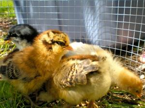 Chicks by HA! Designs - Artbyheather